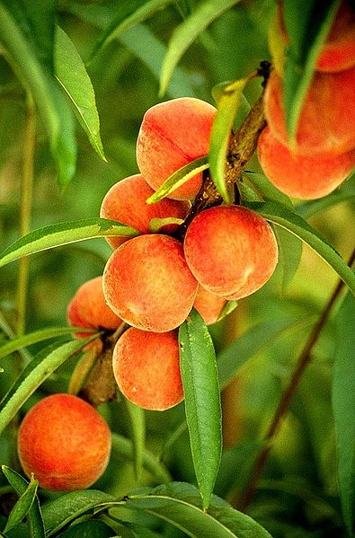 Fruits of prunus persica.